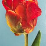 Ingezwolle.tulp-kleur2